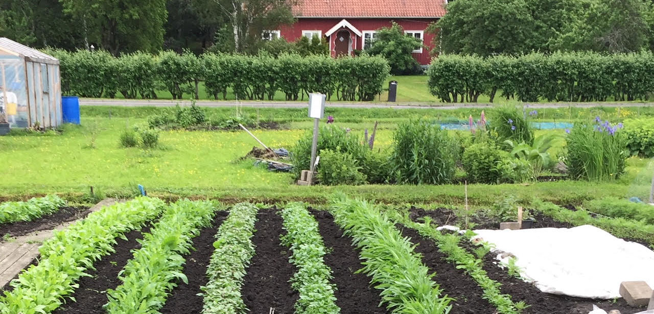 Grönsaker i prydliga rader på Djäkne Odlarförening.s område. Ett rött hus i bakgrunden.