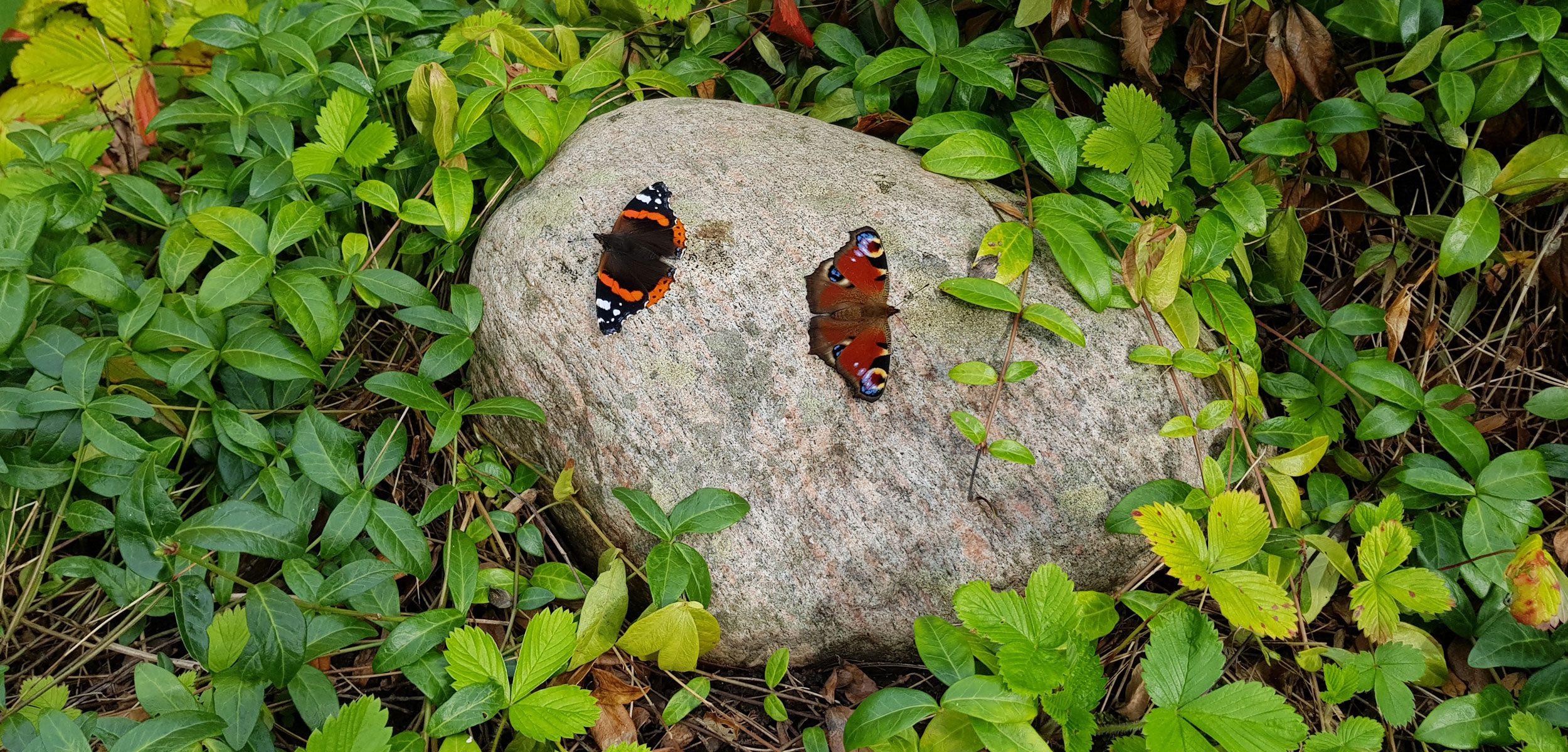Två fjjärilar på en sten.