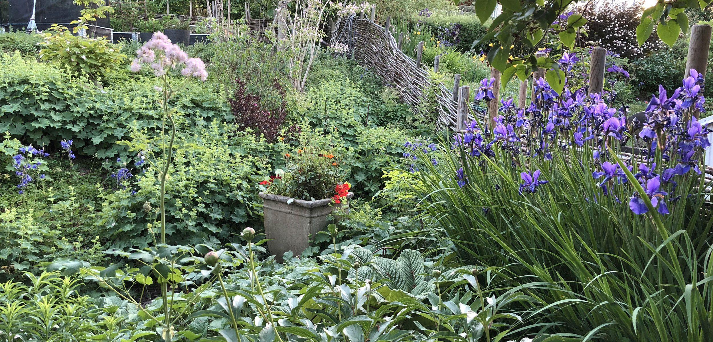 Vy över trädgård med perenner, stor kruka och flätat pilstaket.